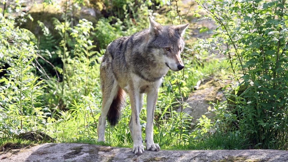 Ferienhaus-Schweden-Sommer-Wolf